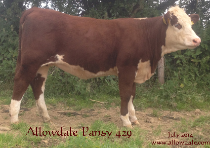 Allowdale Pansy 429